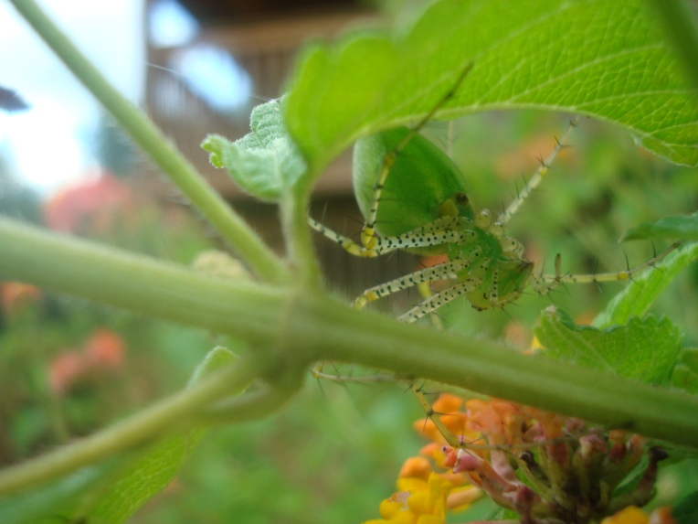 Green Lynx Spider hiding