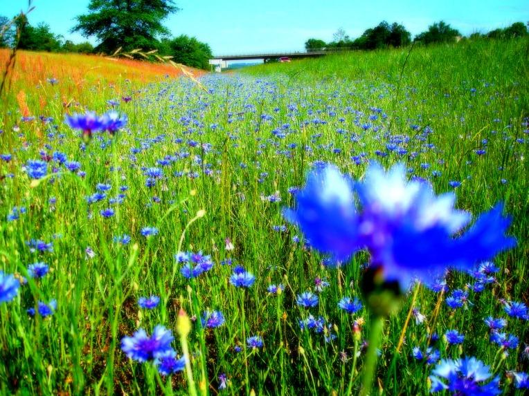 ...... wildflowers .......