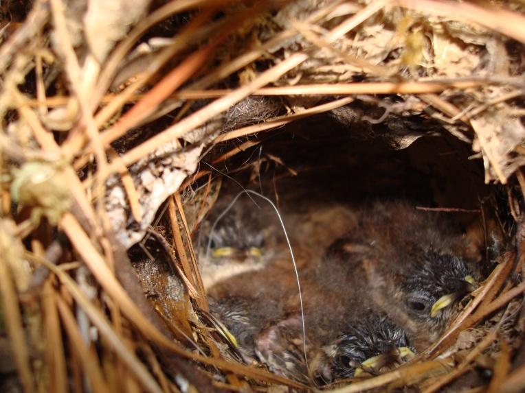 House Wren babies
