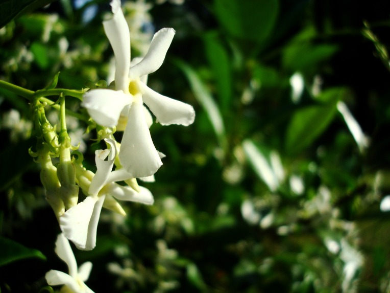 Confederate Jasmine - flower & bloom