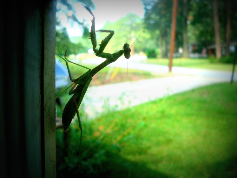 ... close up of the Praying Mantis ....
