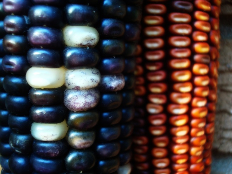 ...... indian maize ....