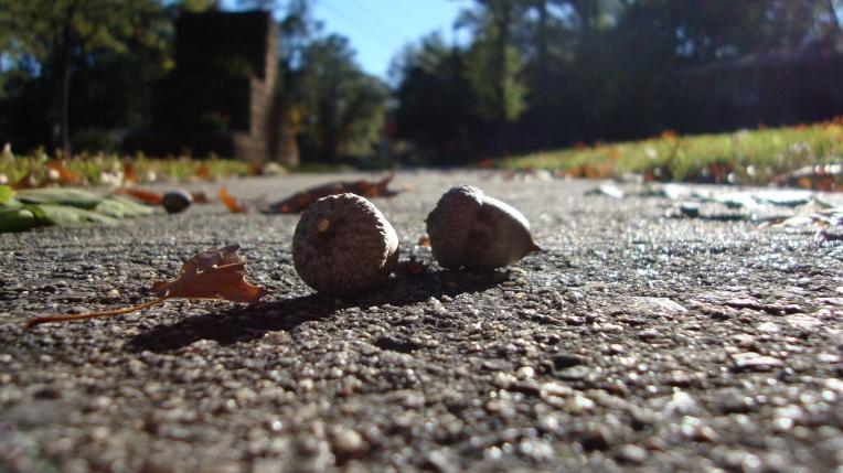 Acorns on the sidewalk - fall goodness
