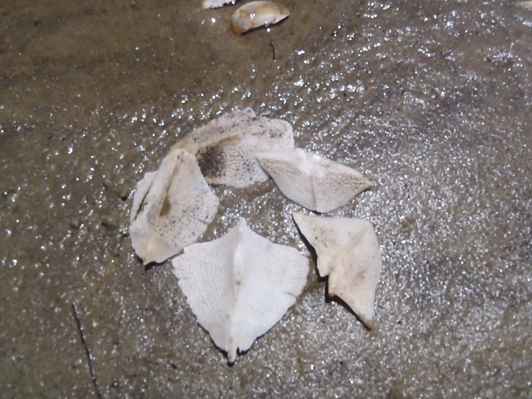 Image result for sturgeon scute fossil