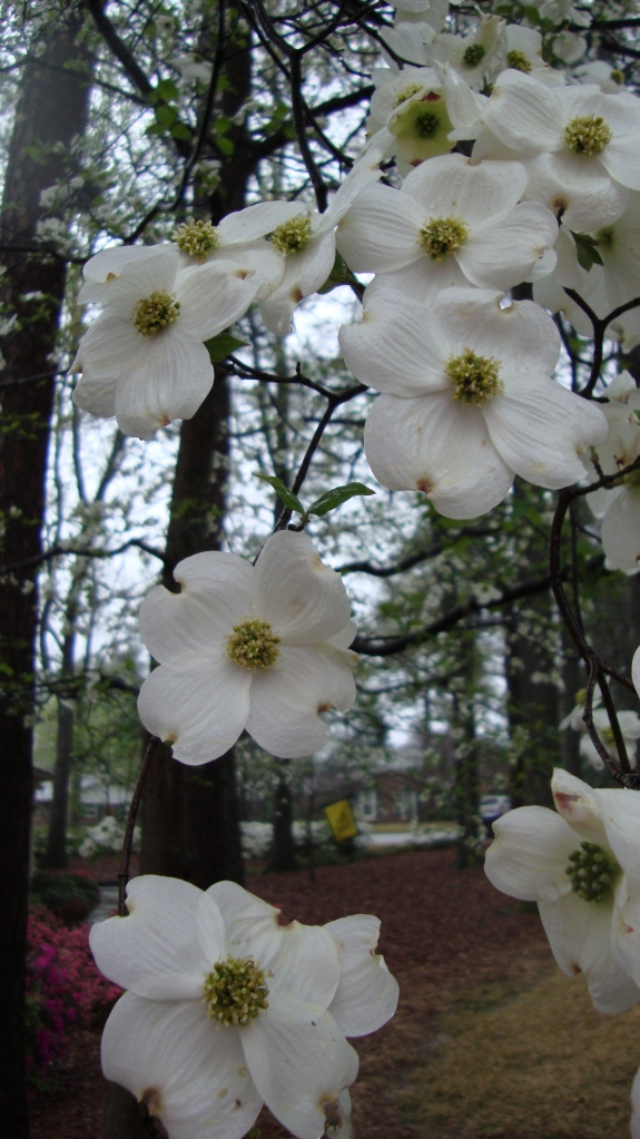 Dogwood blossoms with Masters' flag in the background