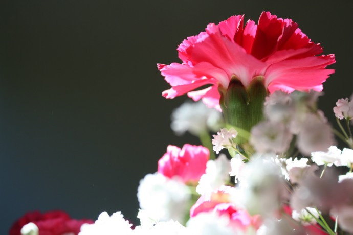 Carnations in sunlight