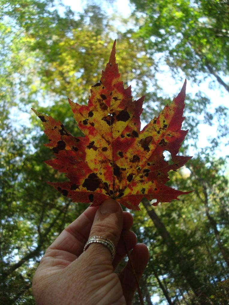 Fall color - Maple Leaf