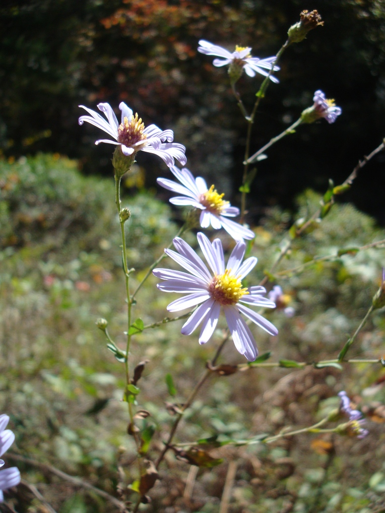 Wildflowers along the Panther Creek Trail