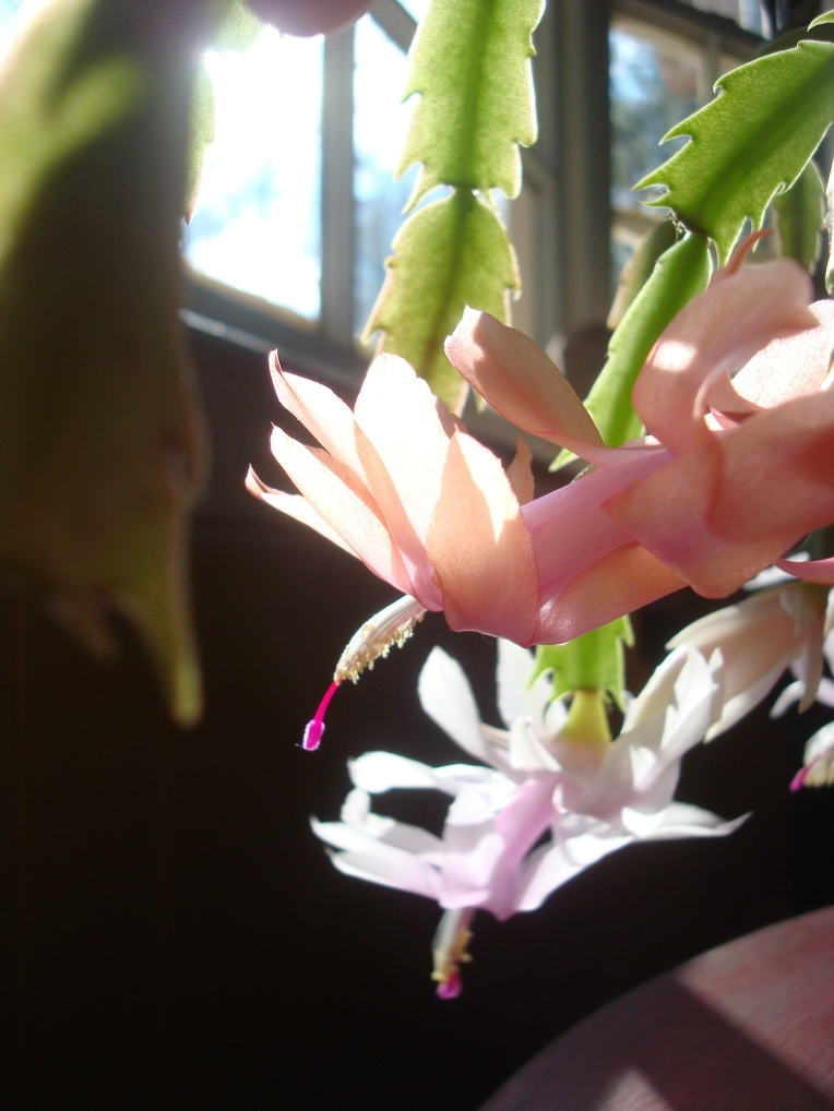 Thanksgiving to Christmas Cactus