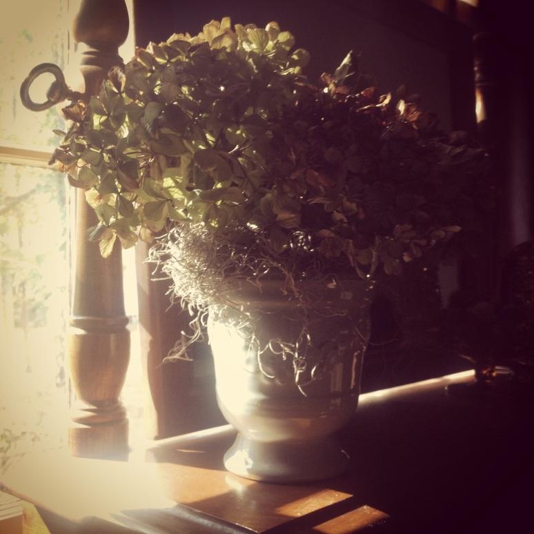 My Grandmother, Odessa's Hydrangea blooms