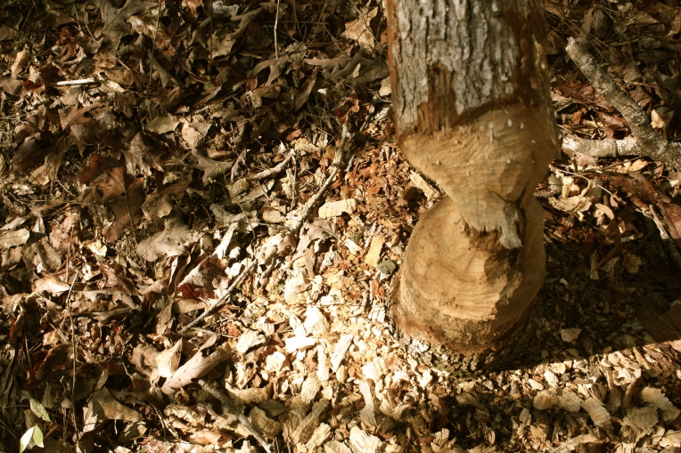 Beaver toils