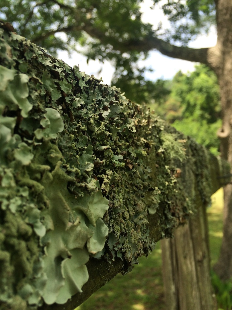 Clothesline draped in lichen, St. Helena Island, SC
