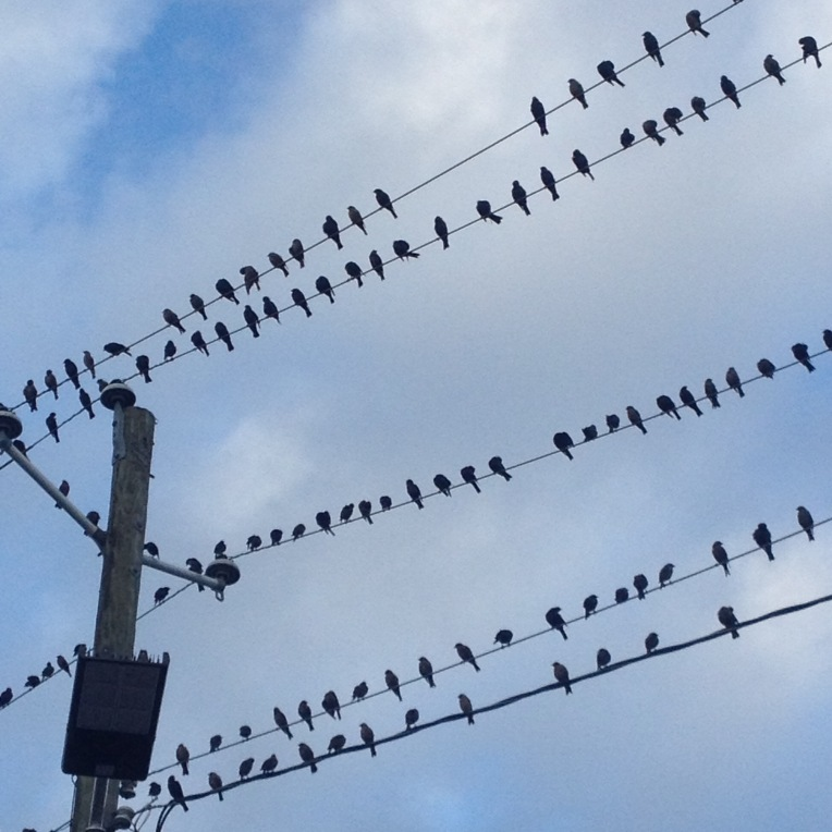 #birdsonawire Starlings