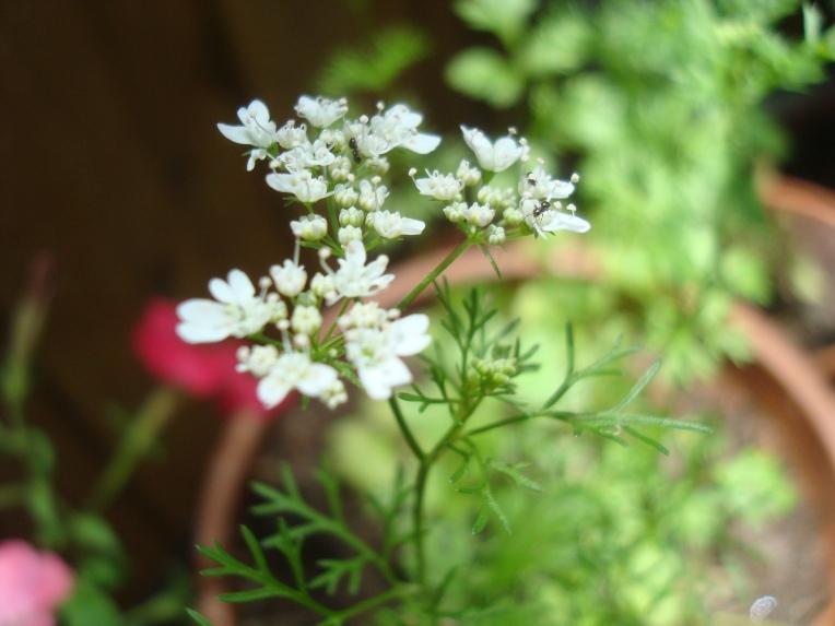 #Cilantro flowering